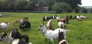 All-the-pretty-goats