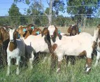 Goat Farming In India Serving Villagers – Empowering Rural Womens