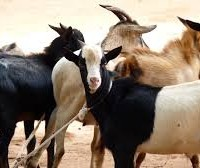 Goat Farming In India  Business For Exports – Quality Indian Goats