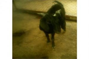 Bakri EID Special Goat (Male)