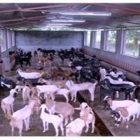 Goat Farming In India Osmanabadi Goat In Maharashtra