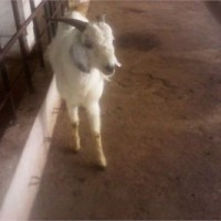 Goat Farming In India  Usmanabadi Goat In Pune