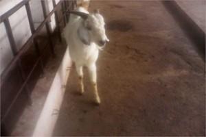 Usmanabadi Goat In Maharashtra